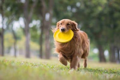 jamnik-frisbee