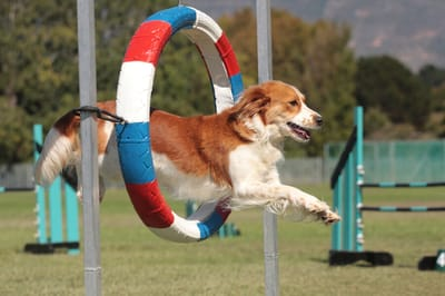 pies skaczący przez koło