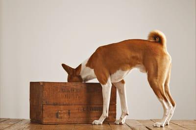 pies węszy