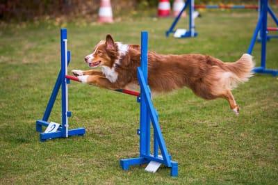 pies skacze przez przeszkodę