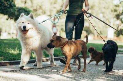 spacer z trzema psami