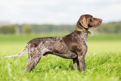Psy z długimi uszami wyżeł  niemiecki