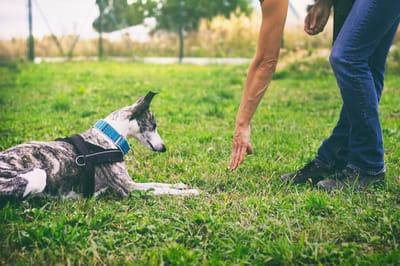 Jak nauczyć psa komendy leżeć