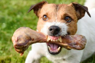 pies broni jedzenie