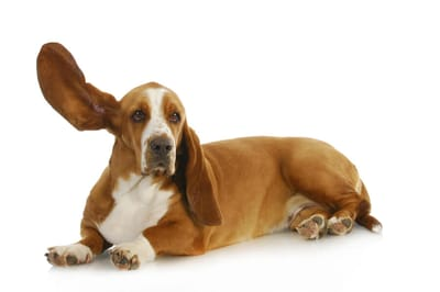 pies słucha