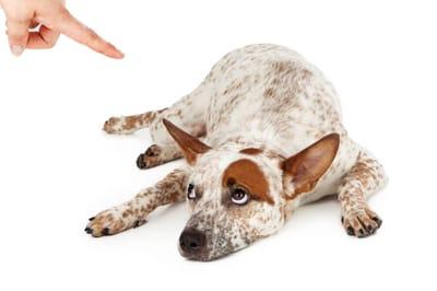 przepraszający pies
