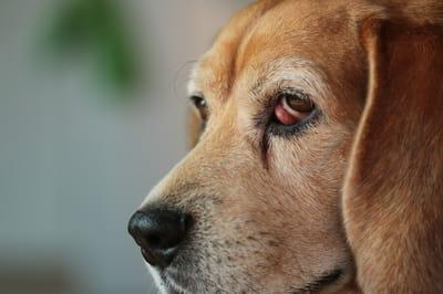 wiśniowe oko u psa