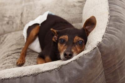 pies z kataraktą