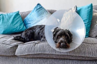 pies po operacji