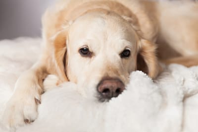 Smutny labrador