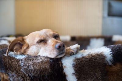 mały pies śpi w legowisku