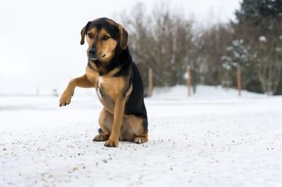 pies na spacerze zimą z chorą łapką