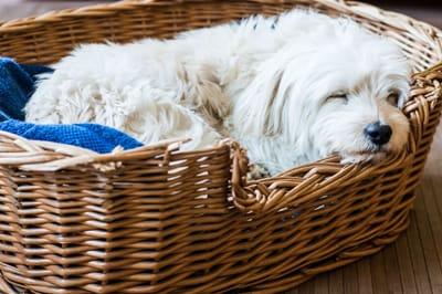 pies śpi w koszyku