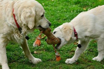 dorosłe psy się bawią