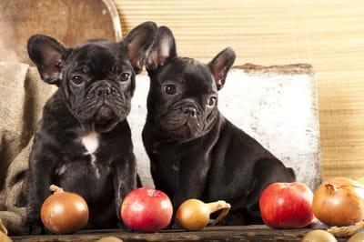pies nie może jeść cebuli