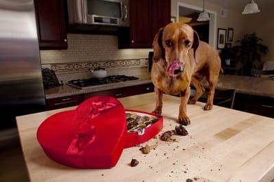 pies nie może jeść czekolady
