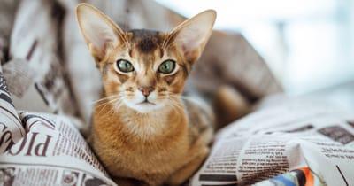 gatto-abissino