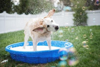cane-in-estate-si-rinfresca-in-piscina