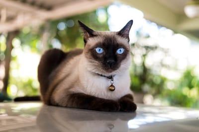elegante-gatto-siamese