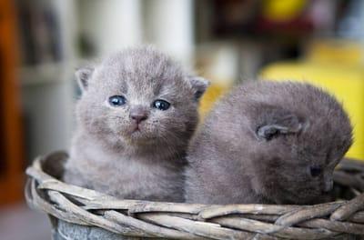 gattini-piccoli-chartreux