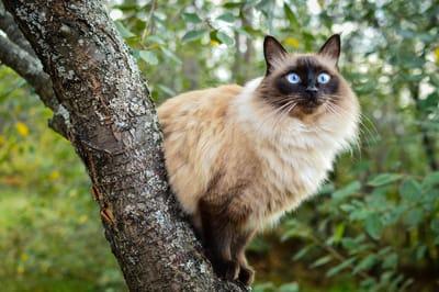 gatto-balinese-con-occhi-blu