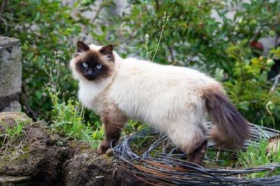 gatto-himalayano-con-occhi-blu