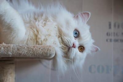 gatto-persiano-con-eterocromia-o-occhi-bicolore