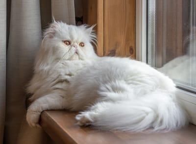 gatto-persiano-con-lunga-pelliccia-bianca