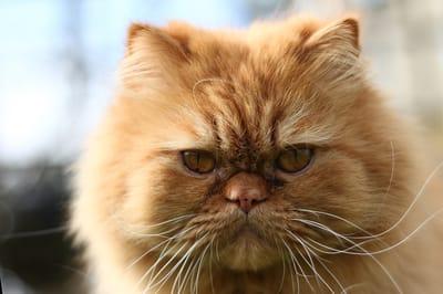 gatto-persiano-con-muso-schiacciato