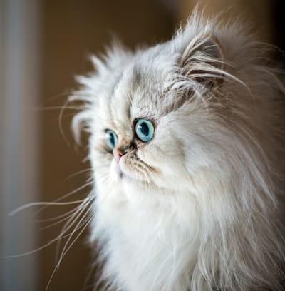 gatto-persiano-con-occhi-turchese