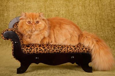 gatto-persiano-su-mini-poltroncina