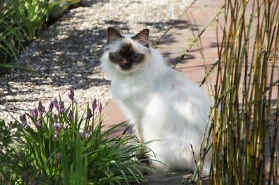gatto-sacro-di-birmania-con-occhi-blu