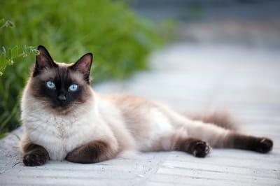 gatto-siamese-con-occhi-blu