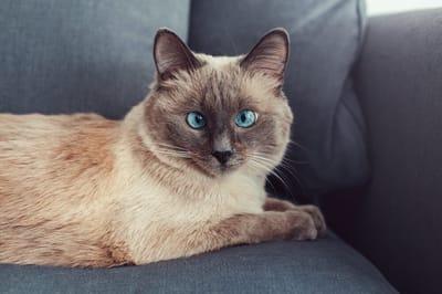 gatto-siamese-con-occhi-strabici