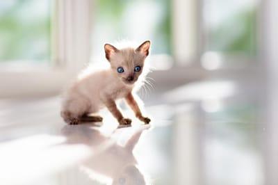 gatto-siamese-cucciolo