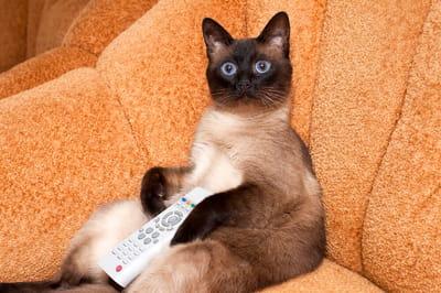gatto-siamese-guarda-la-tv