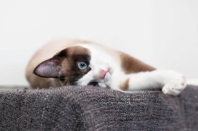 gatto-snowshoe-con-occhi-blu