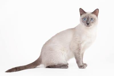 gatto-thai-con-occhi-blu