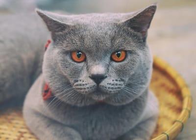 primo-piano-di-un-gatto-certosino