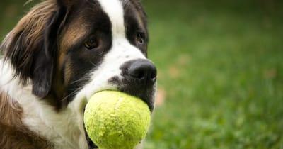 san bernardo con pallina da tennis in bocca