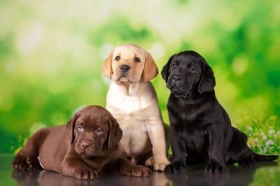tre-cuccioli-di-labrador-retriever