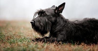 zwarte Schotse Terrier