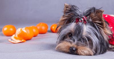 Hond met citrusvruchten