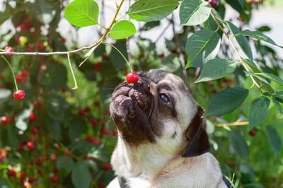 czy pies może jeść czereśnie