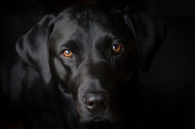sennik czarny pies