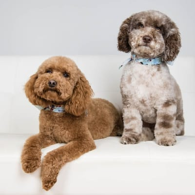 dwa psy rasy goldendoodle