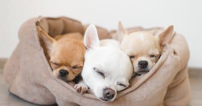 adoptar tres chihuhuas
