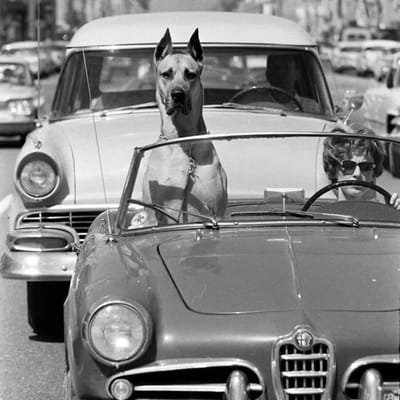 dog niemiecki w samochodzie