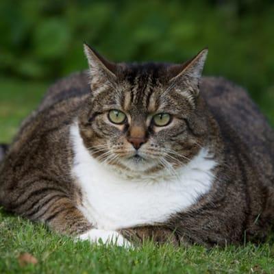 gato obeso tumbado sobre la hierba