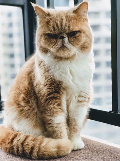 gato gordito enfadado